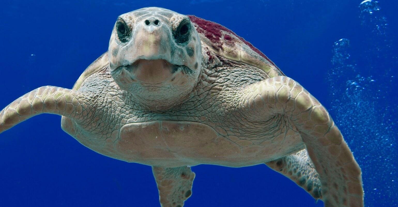 Morske kornjače kao prilov u ribarstvu na Jadranu