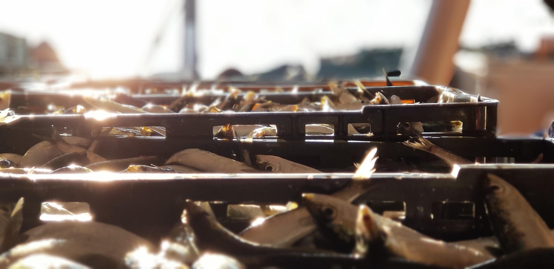Aspekti održivog ribarstva sitne plave ribe